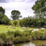 sheep seen on narrowboat holiday on the grand union canal leicester section
